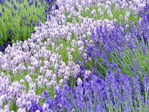 Foto: GPP/Downderry. - Der Lavendel aus der Downderry-Nursery im englischen Kent ist winterhart und umfasst viele verschiedene Blütenfarben und -formen.