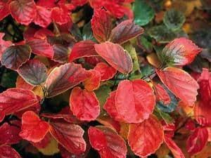 Foto: BGL. - Im Herbst reicht das Farbenspektrum des Großen Federbuschstrauchs von Goldgelb über glühendes Orange bis hin zu feurigem Rot.