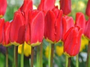 Foto: fluwel.de. - Bei der Tulpe 'Spring Garden' ist nicht der Name das Besondere, sondern dass sie von ihrer Majestät Königin Beatrix getauft wurde - sie trägt bezaubernd rote Blüten.