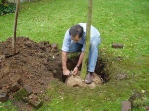 Foto: BdB. - Der neue Baum wird mit dem aufgeschnittenen Ballentuch eingepflanzt, der Stoff zersetzt sich nach kurzer Zeit in der Erde.