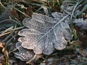 Foto: BdB. - Wenn Pflanzen zu früh austreiben, können schon leichte Nachtfröste erhebliche Schäden verursachen. Laub auf den Wurzeln bewirkt, dass sich der Boden tagsüber weniger stark erwärmt.