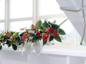 Foto: GPP. - Die rote Anthurie 'Sierra', an einem einfachen Seil befestigt, nimmt modern eingerichteten Wohnräumen die Strenge, ohne dabei zu verspielt zu wirken.