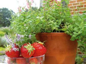 Minze ist ein Klassiker unter den Teekräutern.Foto: djd/Rühlemann's Kräuter und Duftpflanzen
