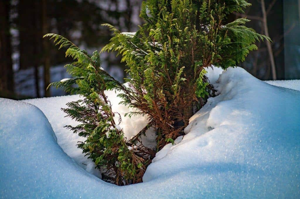 Thuja im Winter